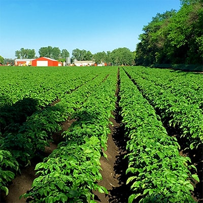 Our field of potatoes at our farm