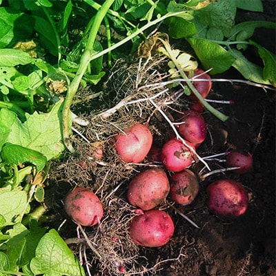 Red potatoes freshly pulled out of rich soil