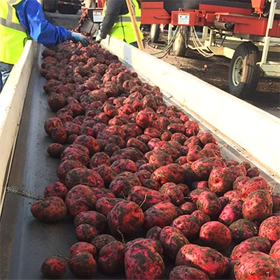 Our quality assurance process with potatoes on a conveyor for processing