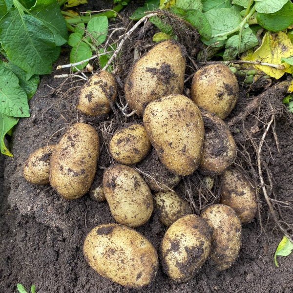 Fresh potatoes in the field