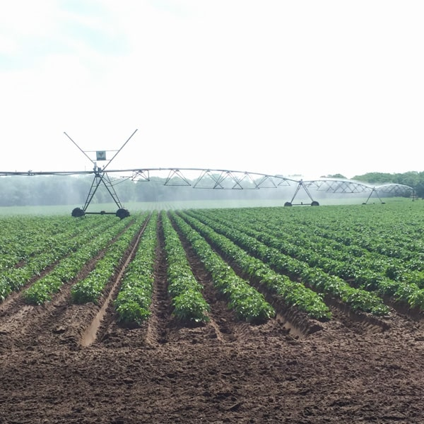 Watering potato fields with sustainable methods