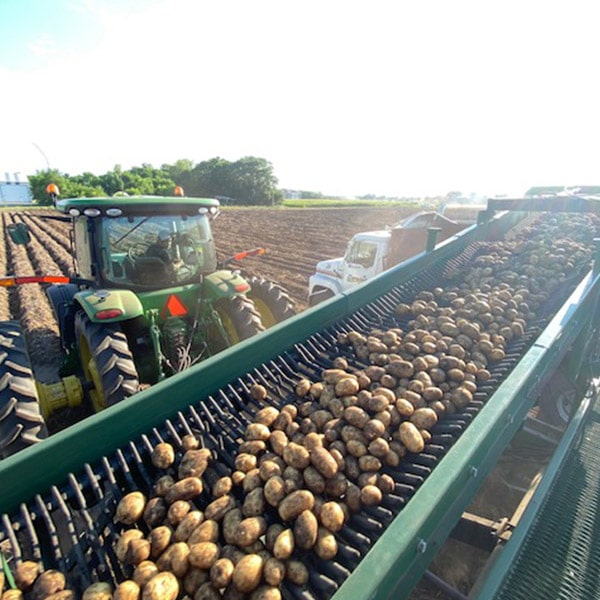 Yellow potato harvest at Campbell Farms in August 2020