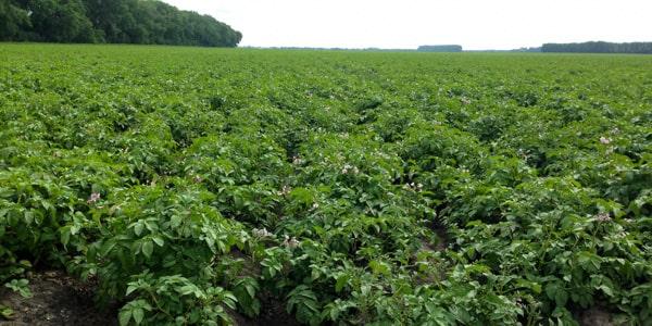 Campbell Farms North Dakota potato farm