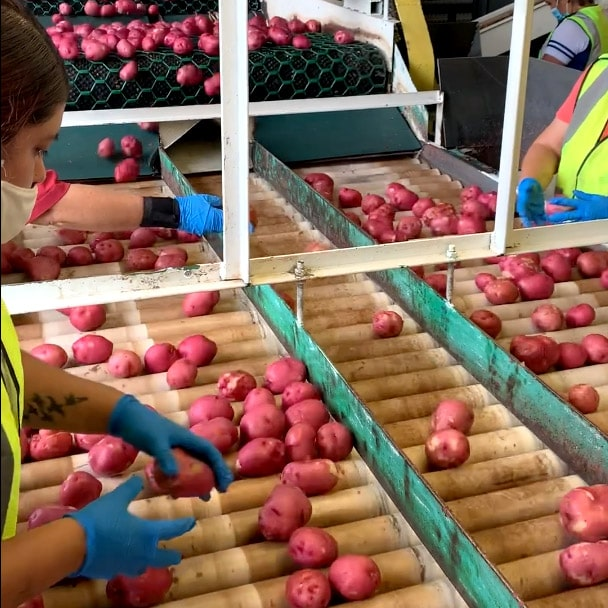 Quality assurance at Campbell Farms - washing and inspecting potatoes