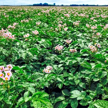 Potato field with flowering plants